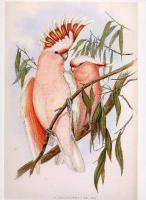 Plate 139 Leadbetter's Pink or Major Mitchell's Cockatoo.jpg
